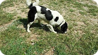 Border Collie Mix Dog for adoption in Dover, Tennessee - Bele
