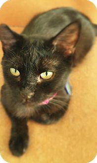 Havana Brown Cat for adoption in Corona, California - MERLIN