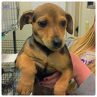 Dachshund/Chihuahua Mix Puppy for adoption in Powder Springs, Georgia - Poppy