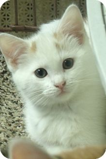 Domestic Shorthair Kitten for adoption in Acme, Pennsylvania - MARIAN