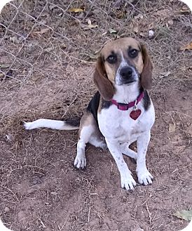 Beagle Dog for adoption in Palestine, Texas - Sally