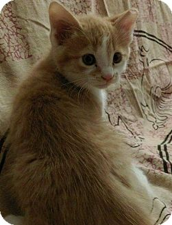 Domestic Shorthair Kitten for adoption in Gainesville, Florida - Twinkie