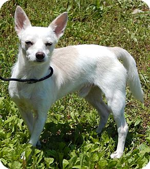Chihuahua/Terrier (Unknown Type, Small) Mix Dog for adoption in SUSSEX, New Jersey - BamBam(9 lb) New Pics/Video