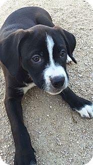Labrador Retriever/Boxer Mix Puppy for adoption in Rosamond, California - Lily