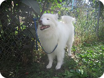 Samoyed Dog for adoption in Arlington Heights, Illinois - Bella