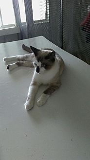 Siamese Kitten for adoption in Elk Grove, California - Horatio (Heidi's Kid)