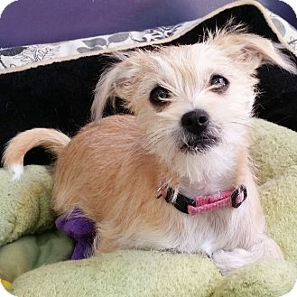 Schnauzer (Miniature)/Terrier (Unknown Type, Small) Mix Puppy for adoption in Thousand Oaks, California - Annie
