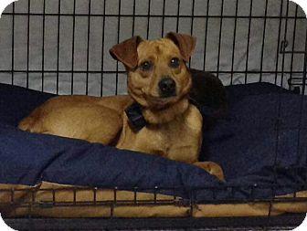 Miniature Pinscher Mix Dog for adoption in Staunton, Virginia - Topper