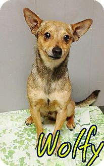 Chihuahua Mix Dog for adoption in Odessa, Texas - Wolfy