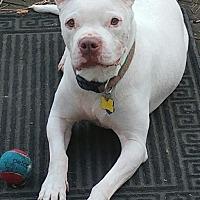 Adopt A Pet :: Napoleon - Oakland Gardens, NY
