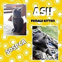 Adopt A Pet :: Ash - Zanesville, OH