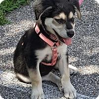 Australian Shepherd/Husky Mix Puppy for adoption in Memphis, Tennessee - Bella