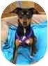 Miniature Pinscher Mix Dog for adoption in Sugar Land, Texas - Luke