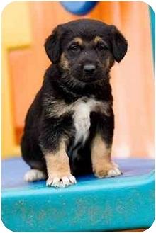 German Shepherd Dog Mix Puppy for adoption in Portland, Oregon - Avery