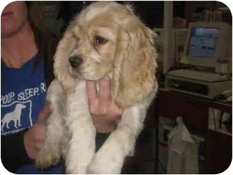Cocker Spaniel Puppy for adoption in San Fernando Valley, California - Grace
