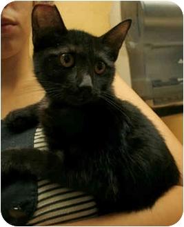 Bombay Kitten for adoption in Orlando, Florida - Babette