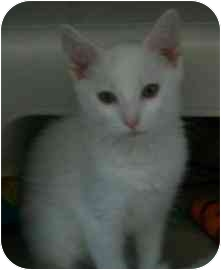 Domestic Shorthair Kitten for adoption in Spruce Pine, North Carolina - Melody