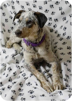 Australian Cattle Dog/Dalmatian Mix Dog for adoption in Westminster, Colorado - PEPPER