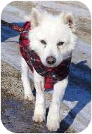 American Eskimo Dog Mix Dog for adoption in High River, Alberta - Seal