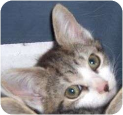 American Bobtail Kitten for adoption in Lincolnton, North Carolina - Fanny