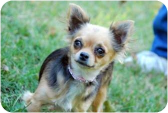 Chihuahua Dog for adoption in Bridgeton, Missouri - Lacy