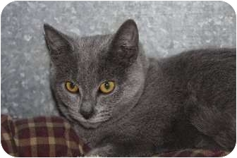 Domestic Shorthair Cat for adoption in Medina, Ohio - Teeko