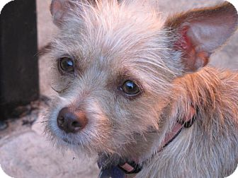 Terrier (Unknown Type, Small)/Podengo Portugueso Mix Puppy for adoption in Los Angeles, California - Merida