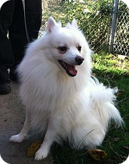American Eskimo Dog Mix Dog for adoption in Seattle, Washington - Tye - FOSTER OR FOREVER HOME