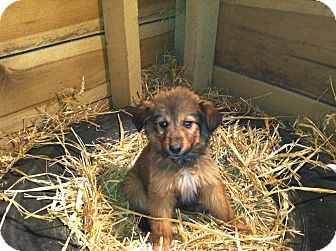 Shepherd (Unknown Type)/Sheltie, Shetland Sheepdog Mix Puppy for adoption in Alamosa, Colorado - Shelby