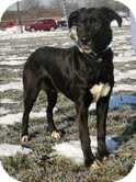 Labrador Retriever Mix Dog for adoption in Lewisville, Indiana - Dawn
