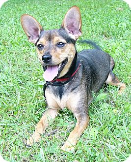 Corgi/Terrier (Unknown Type, Medium) Mix Dog for adoption in Mocksville, North Carolina - Rambo