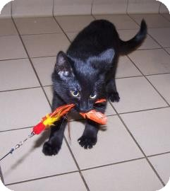 Domestic Shorthair Kitten for adoption in Jackson, Michigan - BT