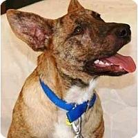 Adopt A Pet :: Thumper - Gilbert, AZ