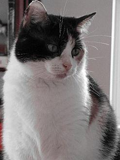 Calico Cat for adoption in Cincinnati, Ohio - zz 'Nala' courtesy listing