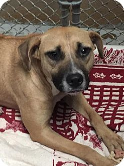 Labrador Retriever/Pit Bull Terrier Mix Dog for adoption in Lancaster, Texas - Tequila