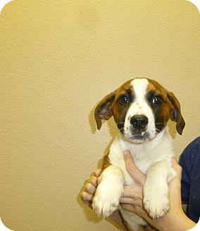 Schnauzer (Miniature)/Basset Hound Mix Puppy for adoption in Oviedo, Florida - Dillion