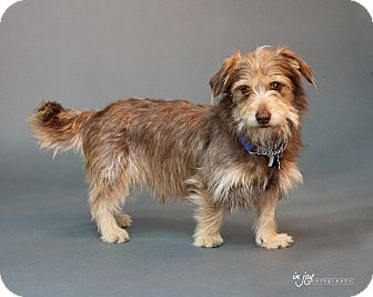 Terrier (Unknown Type, Small)/Dachshund Mix Dog for adoption in Thousand Oaks, California - Charlie