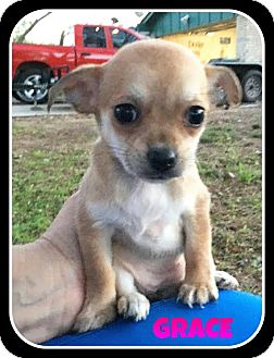 Chihuahua Mix Puppy for adoption in Saddle Brook, New Jersey - Grace