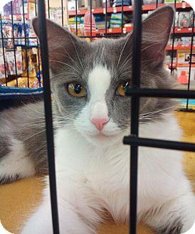 Domestic Longhair Cat for adoption in Fenton, Missouri - Prada