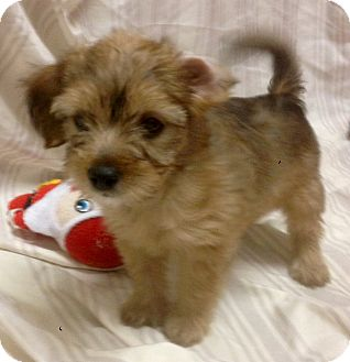 Yorkie, Yorkshire Terrier/Wheaten Terrier Mix Puppy for adoption in Santa Ana, California - Whimsy (ARSG)