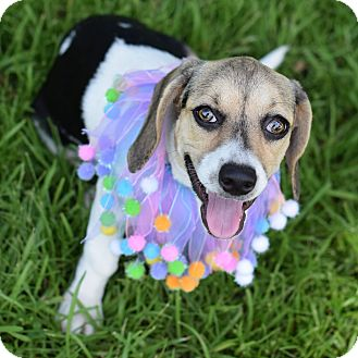 Beagle/Dachshund Mix Puppy for adoption in Denver, Colorado - Cinnamon