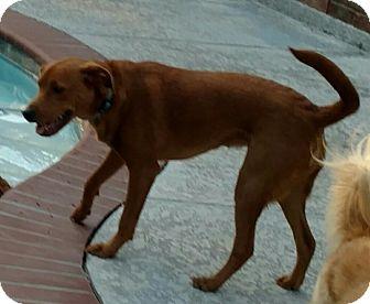 Labrador Retriever/Vizsla Mix Dog for adoption in Houston, Texas - Sissy