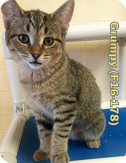 American Shorthair Kitten for adoption in Tiffin, Ohio - Grumpy
