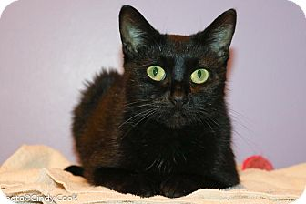 Domestic Shorthair Cat for adoption in Ann Arbor, Michigan - Lilith