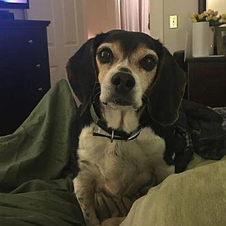 Beagle Dog for adoption in West Columbia, South Carolina - Adeline