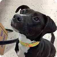 Adopt A Pet :: Harper - Schaumburg, IL