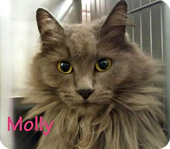 Domestic Longhair Cat for adoption in El Cajon, California - Molly