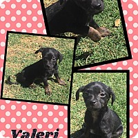 Adopt A Pet :: Valeri - Scottsdale, AZ