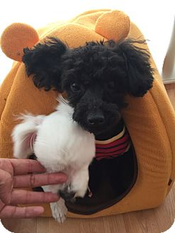 Poodle (Toy or Tea Cup) Dog for adoption in Fairfax, Virginia - Reo