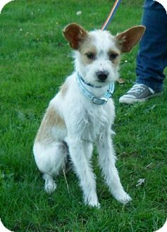 Terrier (Unknown Type, Medium) Mix Puppy for adoption in Tacoma, Washington - Haven